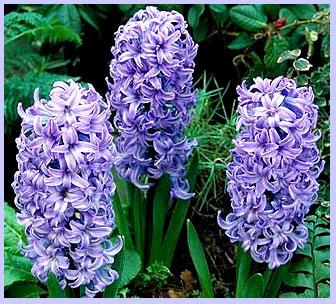 blue_hyacinth