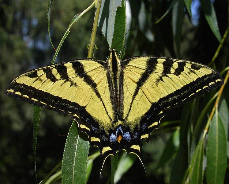 748px-Wtigerswallowtail