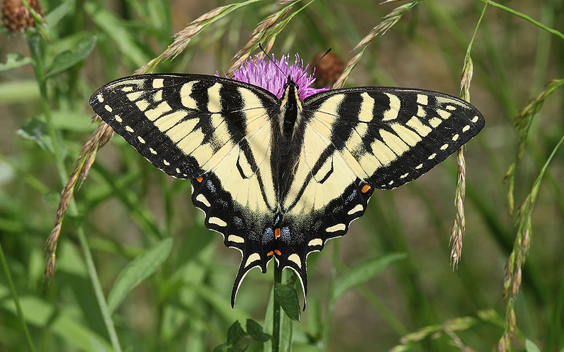 800px-Papilio-canadensis-001