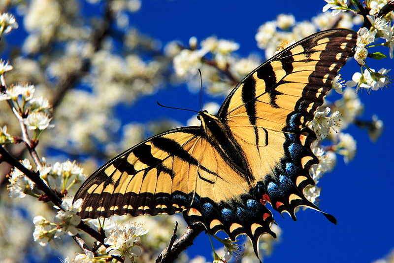 800px-Eastern_tiger_swallowtail3