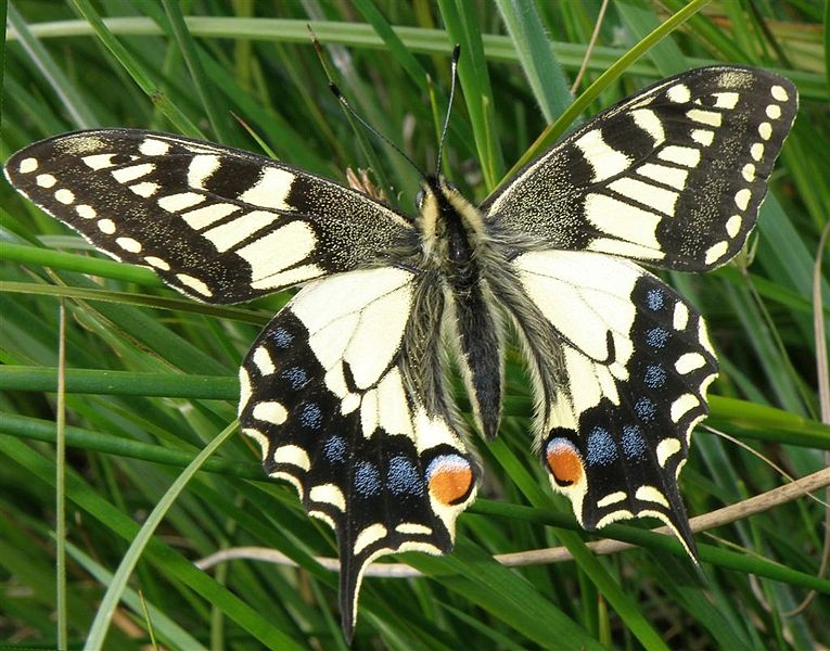Strumpshaw_Fen_Norfolk_Swallowtail
