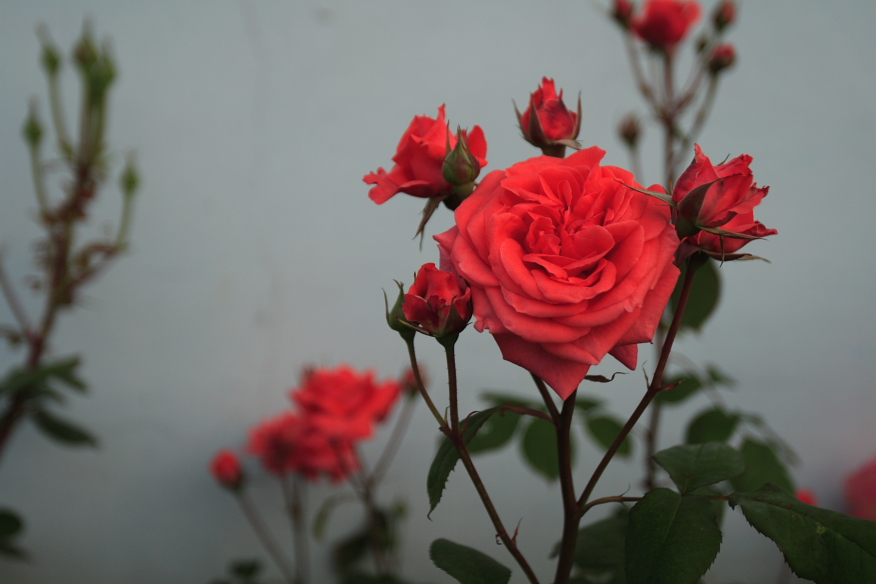 Chinese_Rose