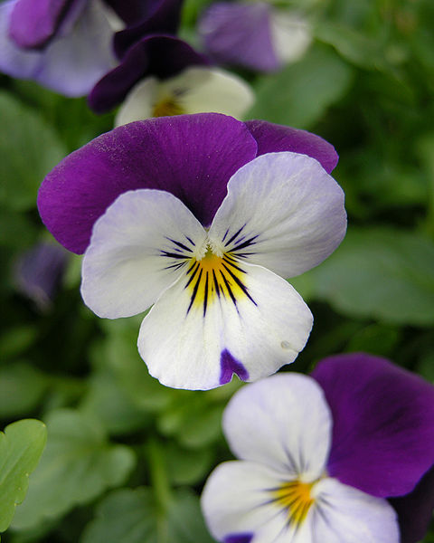 Pansy_Viola_tricolor_Flower