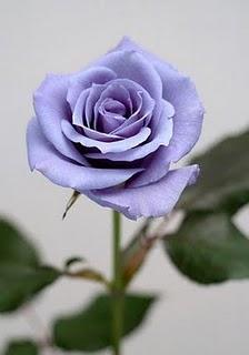 真正藍玫瑰.jpg