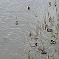 易北河的鴨子