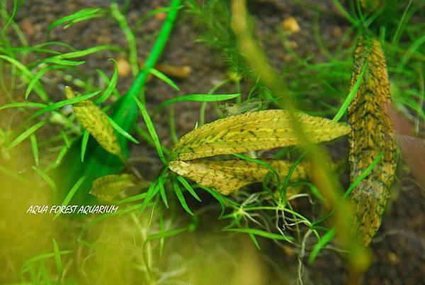 火焰虎斑椒草