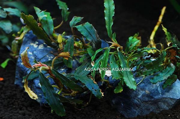 Bucepahlandra sp. Dark NarCysus-1拷貝