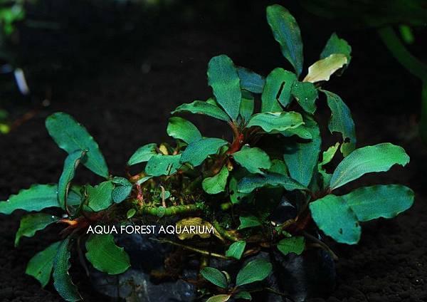 Bucepahlandra sp. Dark Violet-1拷貝
