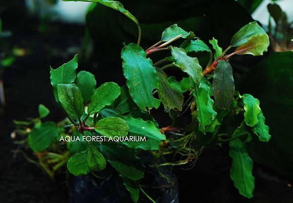 Bucepahlandra sp. Enae-2拷貝