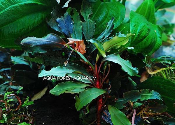 Bucepahlandra sp. Isabelle-1拷貝