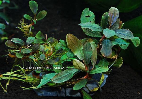 Bucepahlandra sp. Pixy-2拷貝