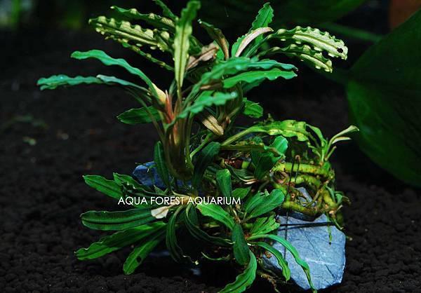 Bucepahlandra sp. Velvet 4-1拷貝