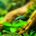 鑽石紅蓮燈 藍色型-5.jpg
