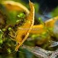 金背黃金米蝦-1