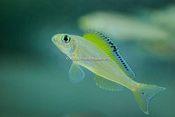Xenotilapia spilopterus-1.jpg