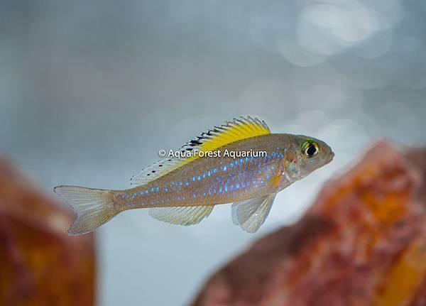 Xenotilapia spilopterus-2.jpg