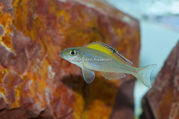 Xenotilapia spilopterus-3.jpg