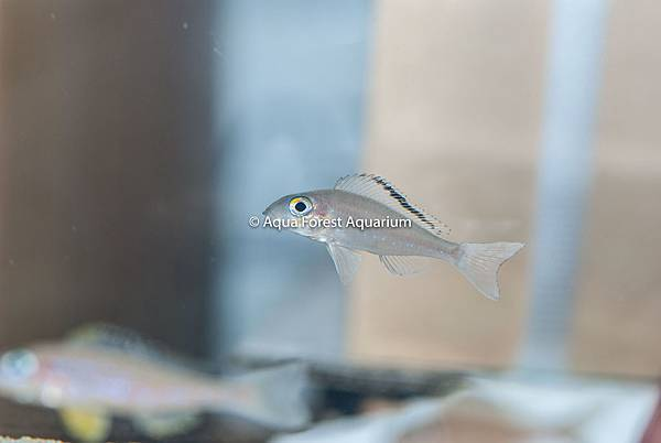 "Xenotilapia spilopterus ""cap kachese""-1.jpg"