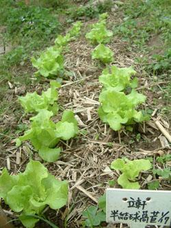 立軒的萵苣菜畦