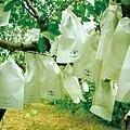 楊桃樹上的套袋