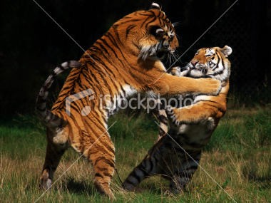 istockphoto_10373890-siberian-tigers-in-fight.jpg