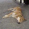 這隻狗很隨性的睡在公車站