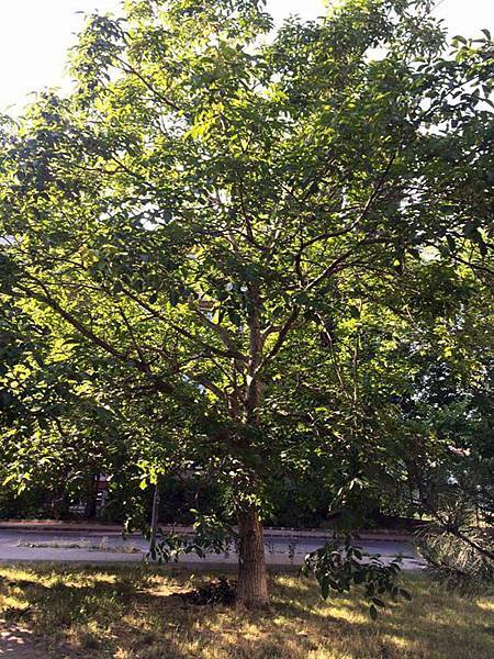 walnut tree (1).jpg