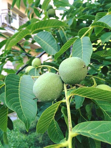 walnut tree (2).jpg