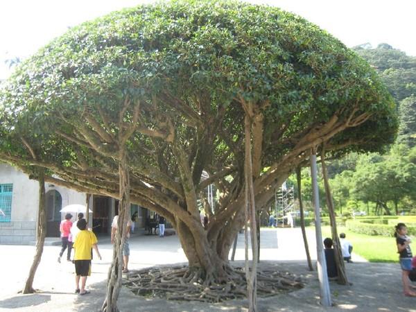 12神奇榕樹.JPG