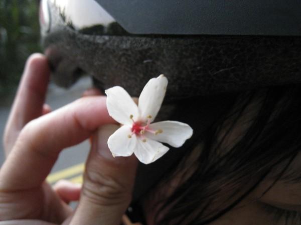 21路上唯一的桐花.JPG