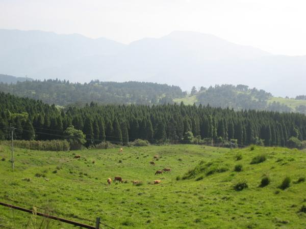 阿蘇附近養殖了許多的牛馬