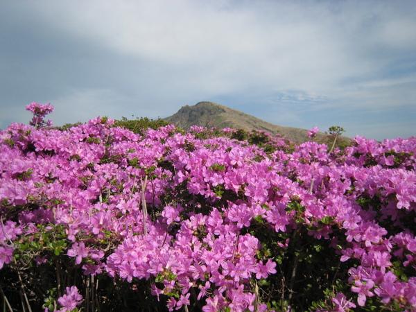 阿蘇山上美麗的杜鵑