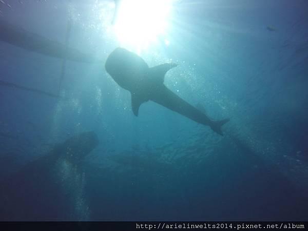 Oslob Whale shark_3167.jpg