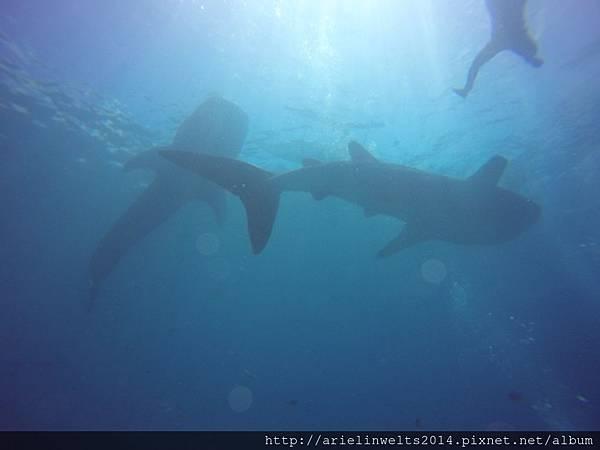 Oslob Whale shark_7488.jpg