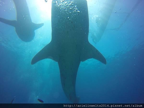 Oslob Whale shark_8268.jpg