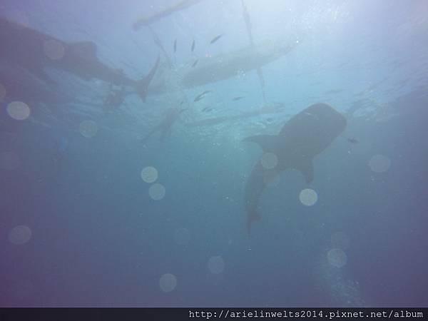 Oslob Whale shark_7975.jpg