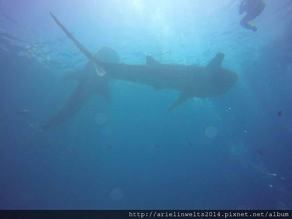 Oslob Whale shark_8050.jpg