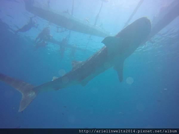 Oslob Whale shark_9018.jpg