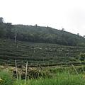 綠油油的茶樹山坡