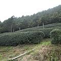 武陵也有產茶,不過茶樹比我想像中高呢!