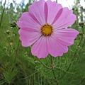 用小花模式拍出來的大花 XD