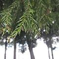 水珠結在樹葉上也很美