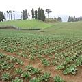 滿坑滿谷的高麗菜田!