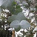 葉子的造型很有趣,是直的、橫的交錯