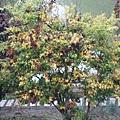尚未完全變色的楓樹,繽紛的色彩也很美
