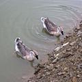 鴛鴦湖內的...鴨子