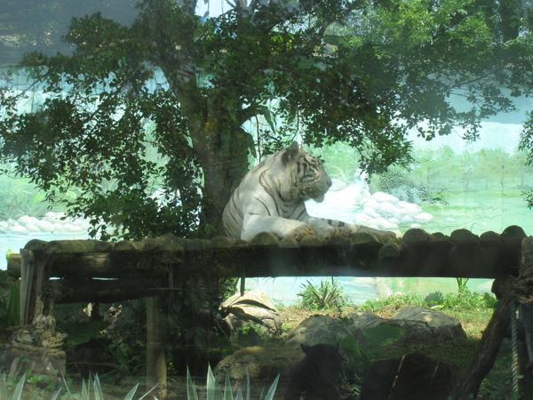 非常優雅的白老虎