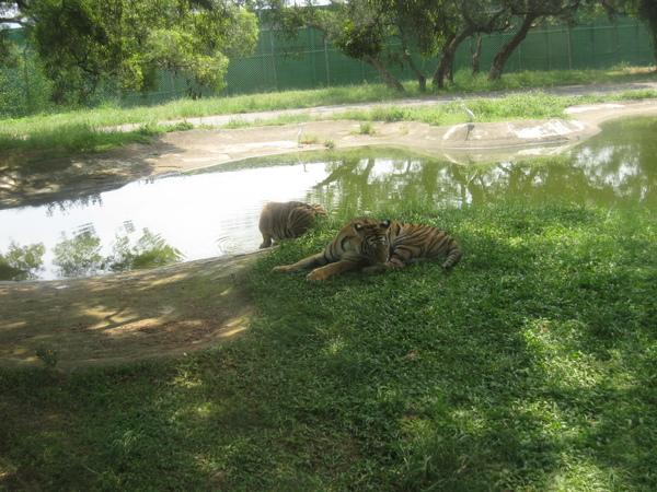 水邊也有正在喝水和休息的老虎
