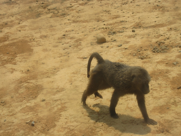 這隻猴子後來跳上我們車頂啦!
