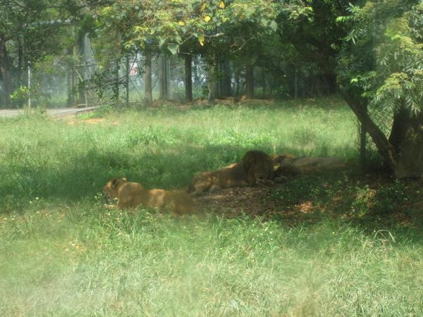 獅子,一樣也是睡個不停